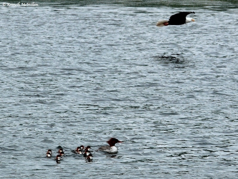 The Bald Eagle mate joins the successful hunter while the Merganser and chicks re-group