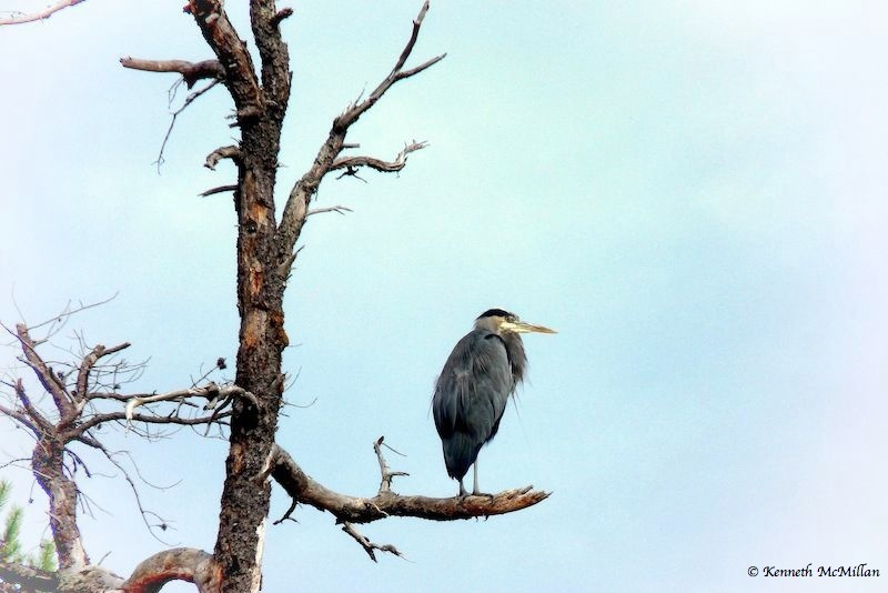 Great Blue Heron - 2012