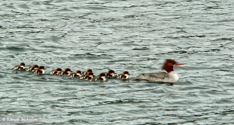 A mother Common Merganser with her chicks