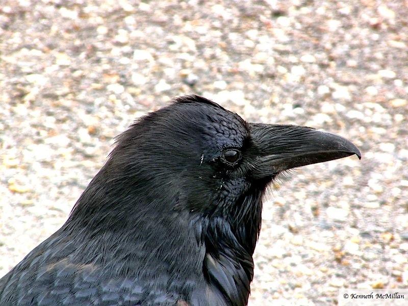 Raven 2_watermarked