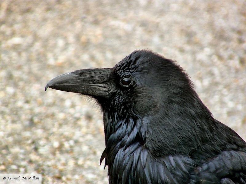 Raven 5_watermarked