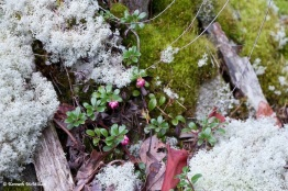 Kinnikinnick, mosses and lichen