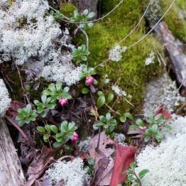 Kinnikinnick, mosses and lichen