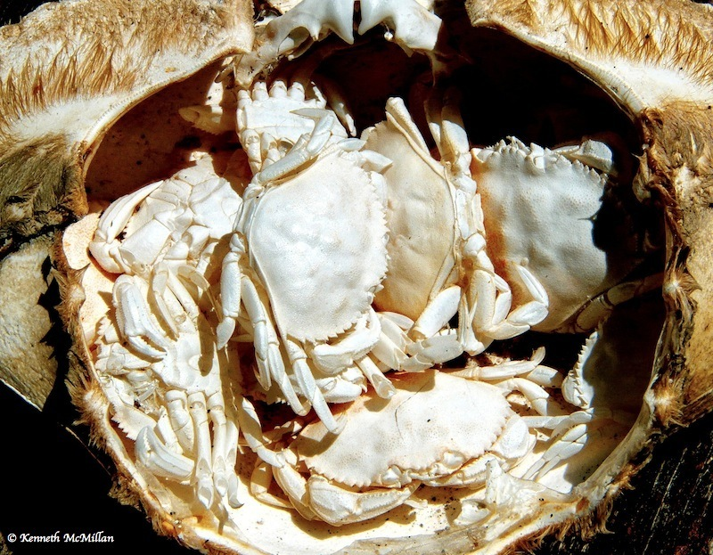 Bleached Crabs_watermarked