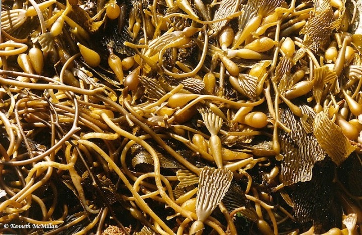 Kelp_watermarked
