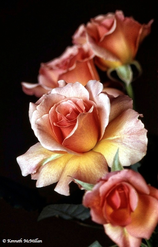 Roses_watermarked