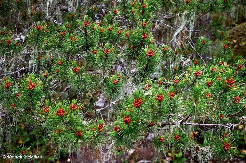 Pine Buds_watermarked