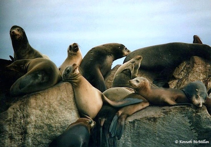 Sea Lions_watermarked