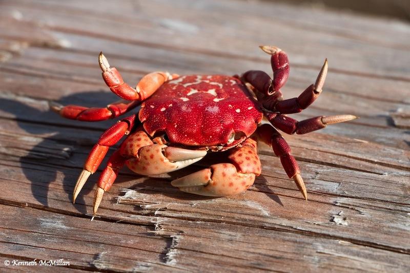 Still life of a dead crab with acute sun burn.