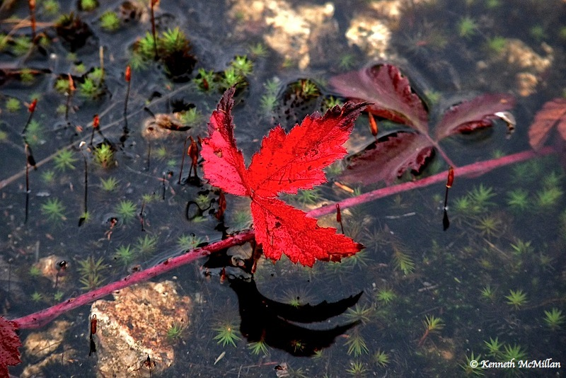 Red Leaf_watermarked