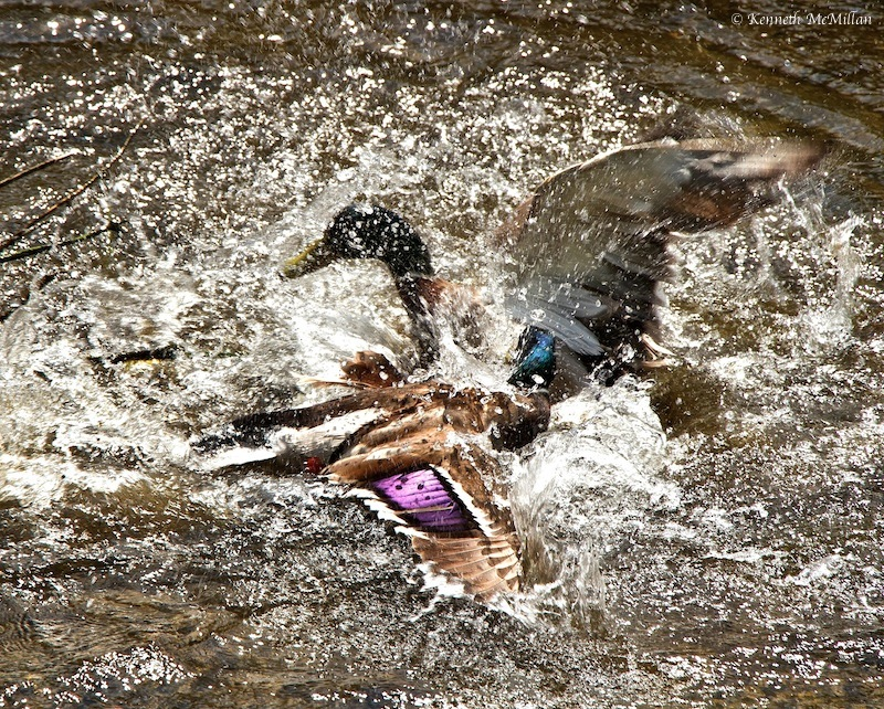 Duck Fight_watermarked
