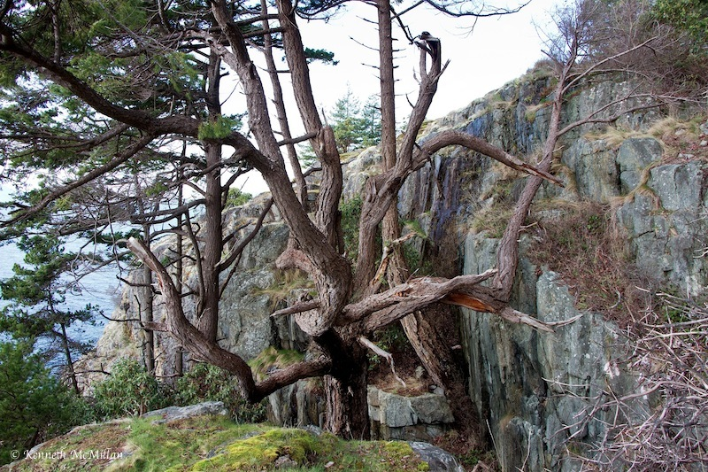 A fir tree growing up through a crevasse.  The base of the tree is 30 feet below these branches.