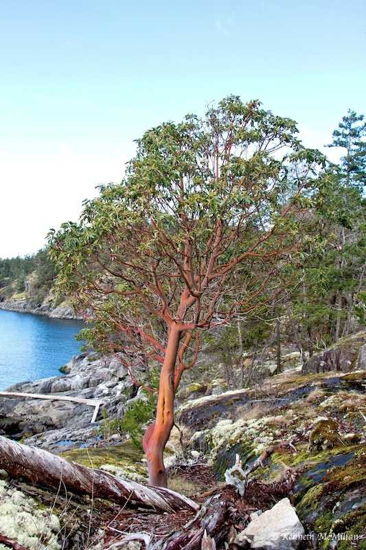 A young arbutus tree
