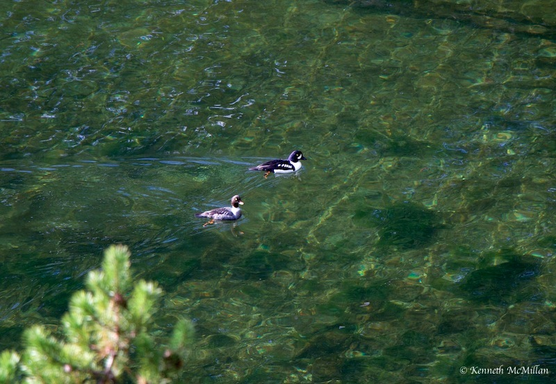 A pair of Barrow's Goldeneye near where the trail leaves the ocean.