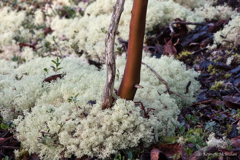 Lichen and Arbutus