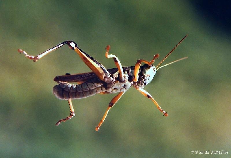 Grasshopper_watermarked