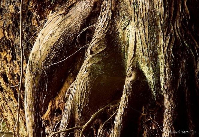 Cedar Root_watermarked