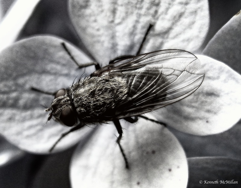 Fly_watermarked