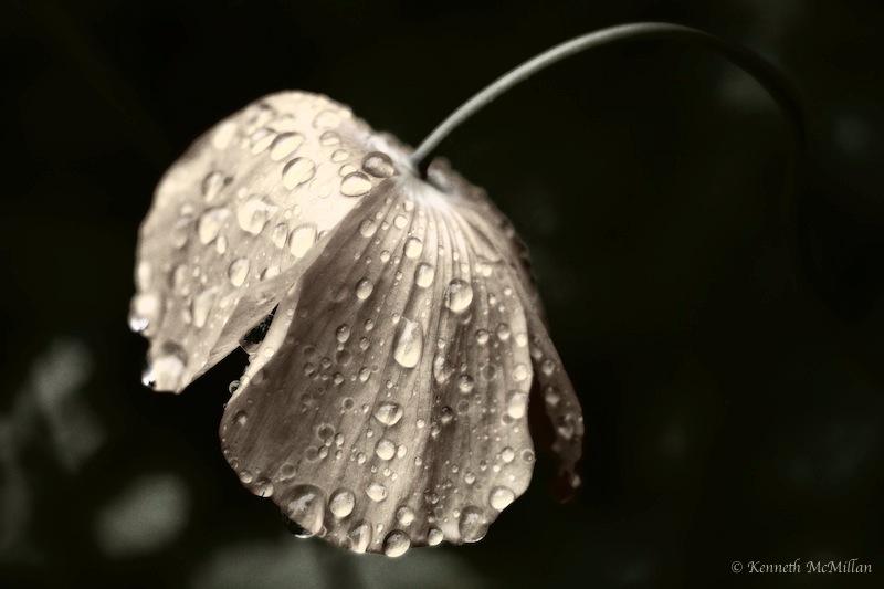 Wet Poppy_watermarked