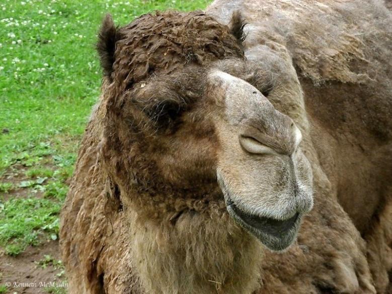 Camel_watermarked