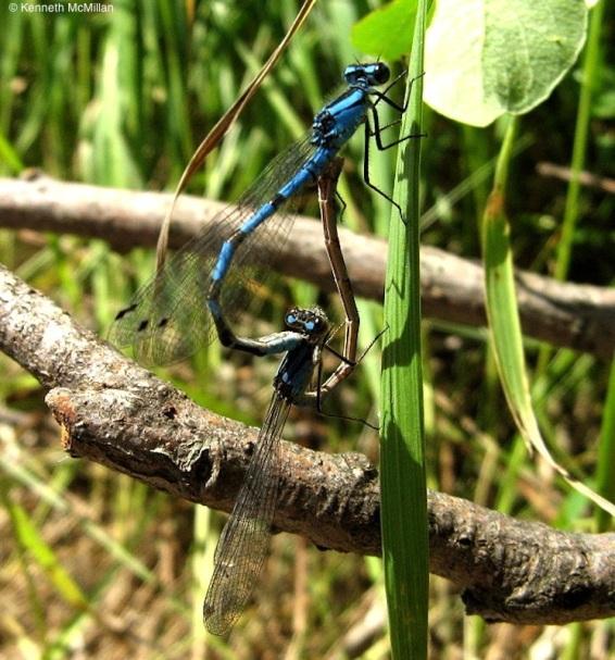 11-Blue Darners_watermarked