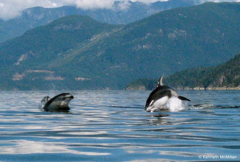 White Sided Dolphins_watermarked