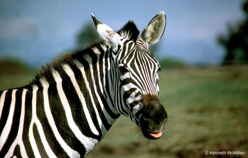 Zebra_watermarked