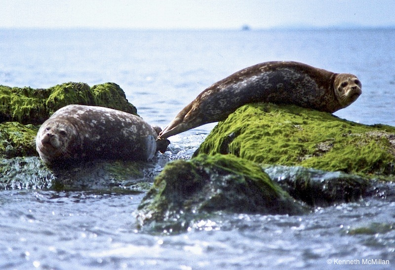 Harbour Seals_watermarked
