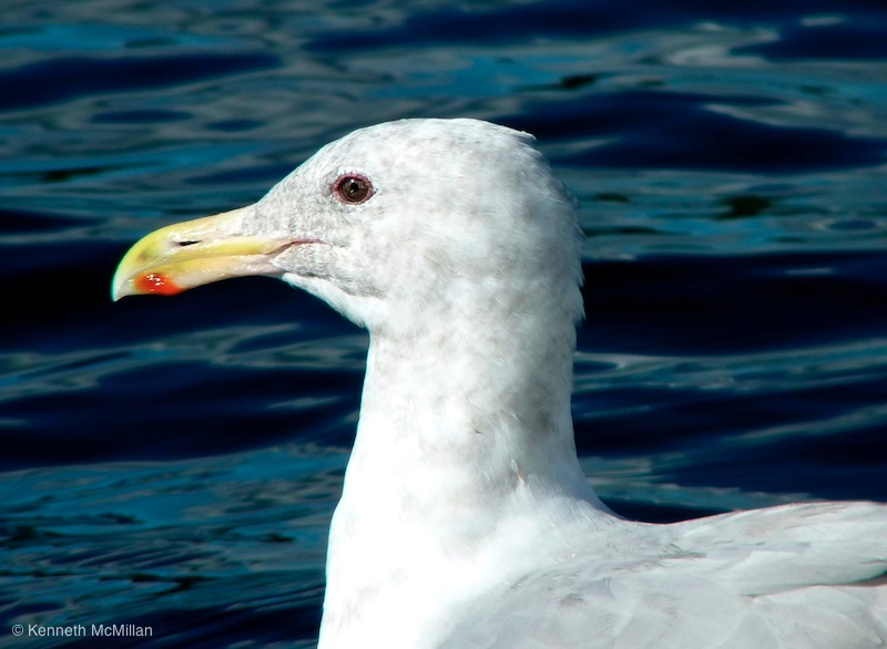 Gull_watermarked