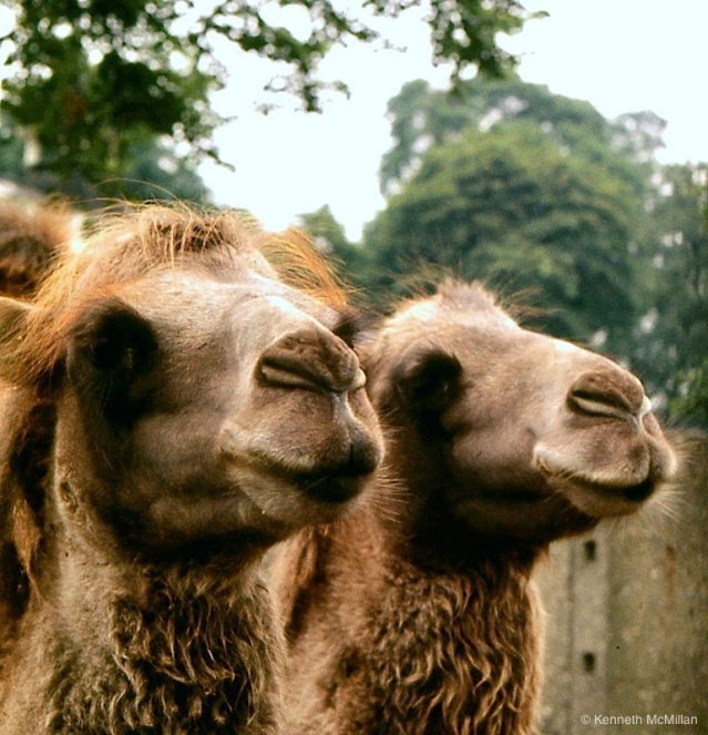 Camels_watermarked