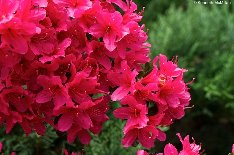 Pink Azalea_watermarked