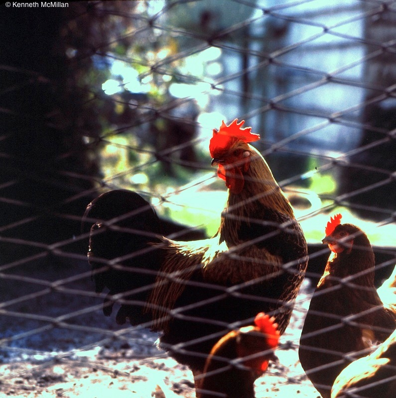 Chickens_watermarked