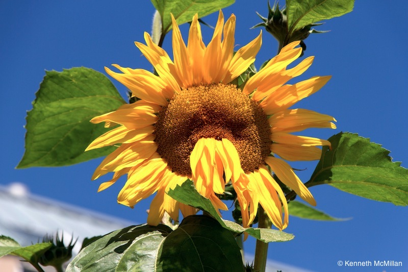Sunflower with a Fu Manchu mustache.