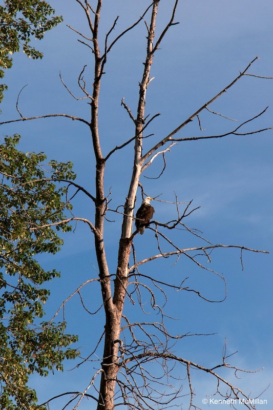 Bald Eagle keeping watch for fish