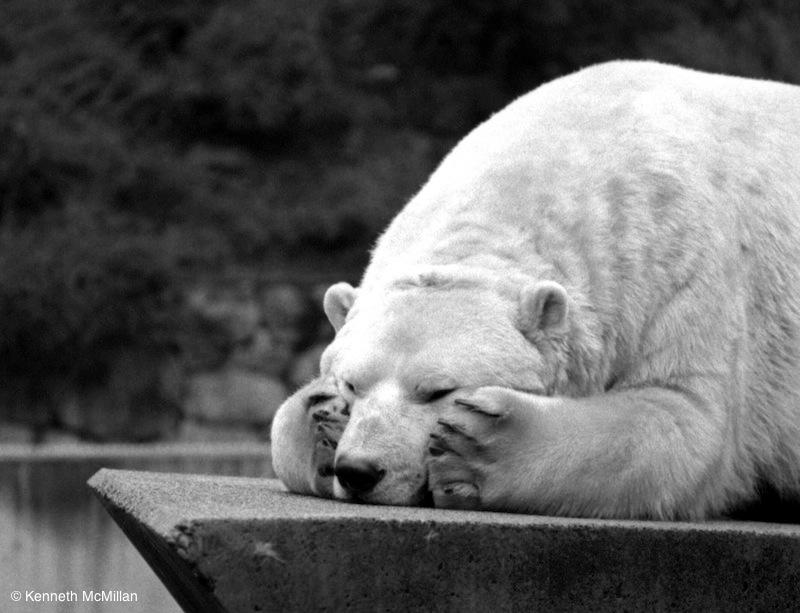 Polar Bear_watermarked