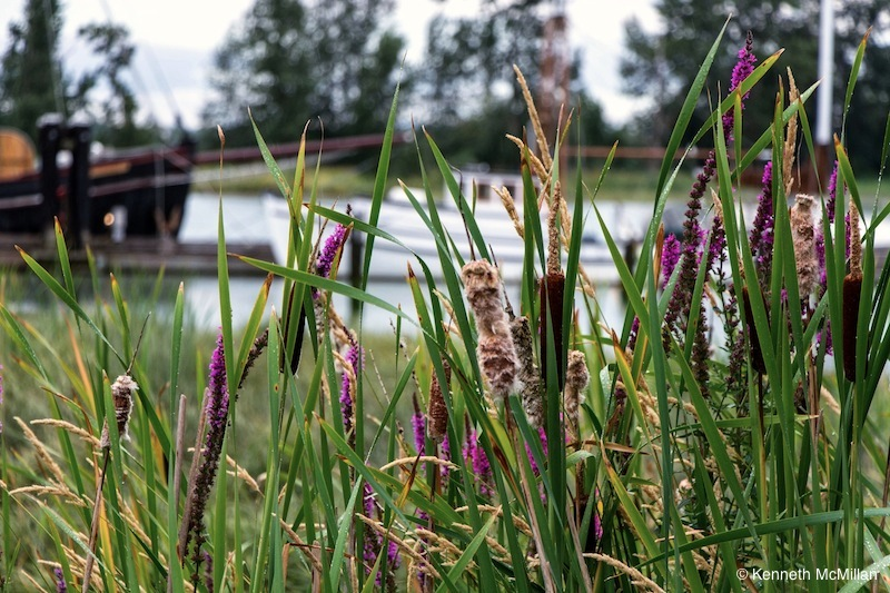 Bulrushes and Wildflowers
