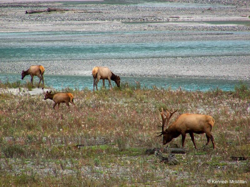 Elk Herd_watermarked