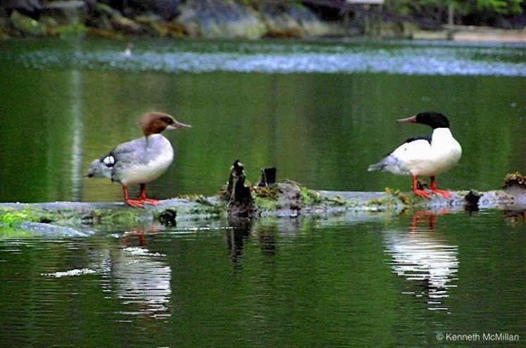 Mergansers_watermarked