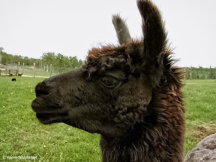 Llama_watermarked