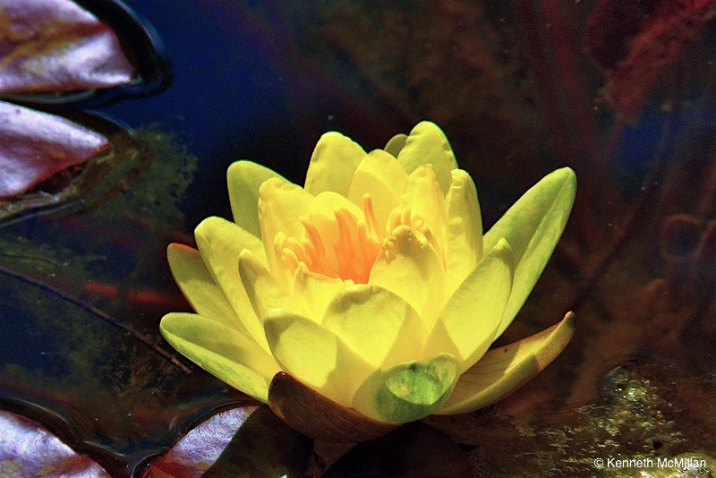 Water Lily 04_watermarked