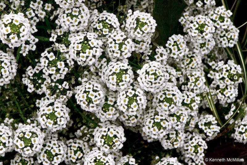 Alyssum copy1_watermarked
