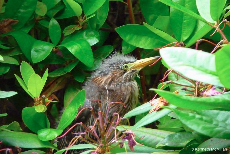 Green Heron Chick 1_watermarked