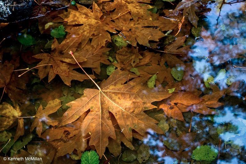 Pond Maples_watermarked